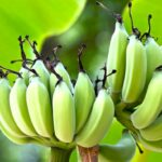 WHAT IS RESISTANT STARCH?  IS IT GOOD OR BAD FOR US?